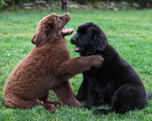 Landseer Dog Pictures